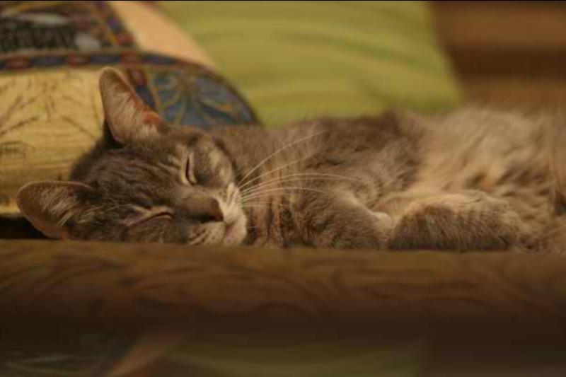 Jeff's Gray cat sleeping.
